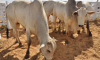 Cenário e perspectivas para o agronegócio da pecuária tocantinense