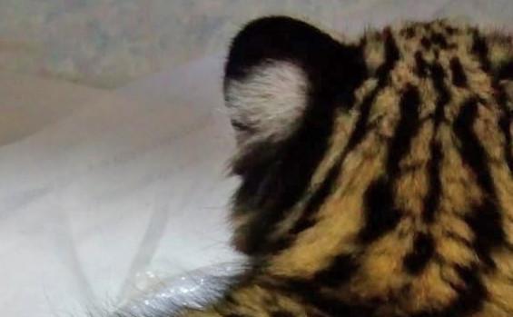 Tocantins contribui com pesquisa genética da espécie gato-do-mato-pequeno encontrado no Estado