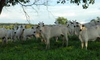 Rebanho de bovídeos deve ser vacinado contra aftosa até a próxima segunda-feira, 31