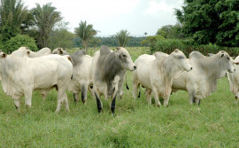 Secretaria da Agricultura e pecuaristas realizam leilão virtual de animais de raça nesta quarta, 7