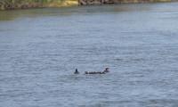 Dados científicos indicam crescimento populacional do pato-mergulhão no Tocantins