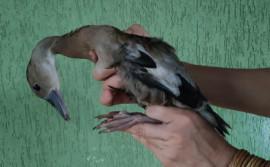 Naturatins recebe entrega voluntária de um pato selvagem