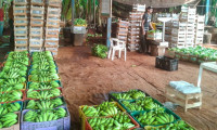Com certificado fitossanitário, Adapec garante qualidade na produção e comércio de banana no Tocantins