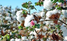 No Tocantins, vazio sanitário do algodão inicia no dia 20 de setembro