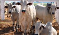 Produtor rural poderá antecipar a vacinação contra a febre aftosa para bovídeos que participarão de eventos agropecuários