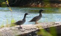 Naturatins reforça normas de proteção do pato-mergulhão