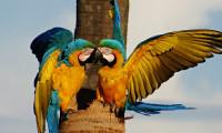 Arara é símbolo natural do Tocantins e encanta moradores da Capital